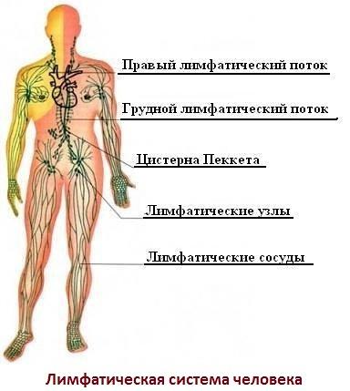 Лимфа, лимфатическая система