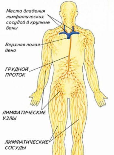 Лимфатическая система и лимфа